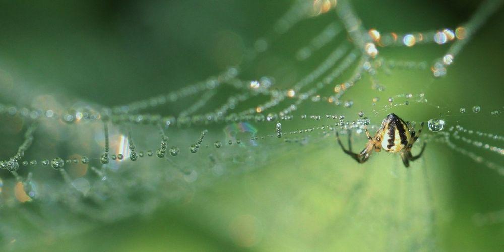 Graphene sprayed spiders spin super strong silk